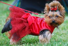 #vetsminster Yorkshire Terrier short stature, body shape after Chihuahua small dog in the dog industry position is very consolidated.