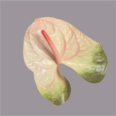 Anthurium Simba are a white & green variety with a pink & apricot stamen. 10 stems per box = large flower heads.