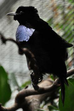 Superb Bird-of-paradise (Lophorina superba) by Kowari