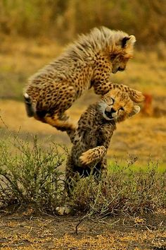 Cheetah playtime