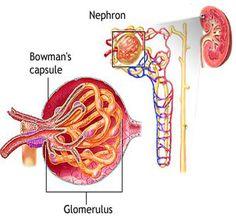 Gloremulo: filtra la sangre y se elabora la orina