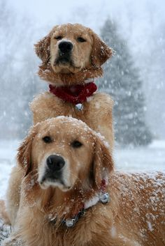Jingling bells in the snow! #dogs #pets #GoldenRetrievers facebook.com/sodoggonefunny