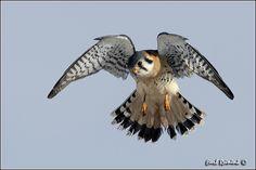 American Kestrel Falcon Tattoo, American Kestrel, Storks, Buzzard, Kites, Birds Of Prey, Raptors, Falcons, Hawks