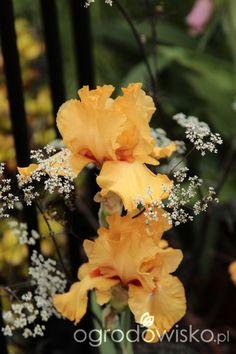 Umiejętne zestawianie roślin, zgrane duety - wyłącznie przykłady kompozycji - strona 13 - Forum ogrodnicze - Ogrodowisko