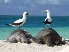Masked boobies (Sula dactylatra) and unidentified sea turtles in Papahanaumokuakea Marine National Monument, NW Hawaiian Islands. Photo by Mark Sully, Hawaiian Monk Seal Research Program. Green Turtle, Turtle Love, Eagles, Hawaiian Monk Seal, Turtle Bars, Back To Nature, Monterey Bay Aquarium, Destinations, Marine Conservation
