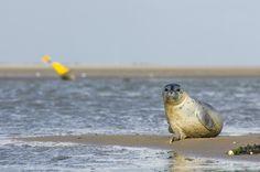 Zeehondenzie je vaak als je op Schiermonnikoog bent. Gewoon lopend over het strand, op een excursie naar de balg (het meest oostelijke punt van het eiland) of, zoals hier, op een excursie naar Engelmansplaat. En regelmatig worden ook zeehonden uit de zeehondencrèche vanaf het strand weer vrijgelaten. Zo leuk om ze dan langzaam weer te zien verdwijnen in de zee waar ze thuis zijn!