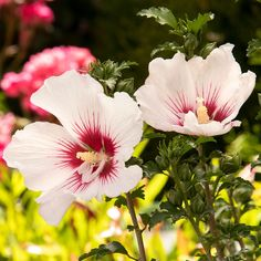 The large, exquisite, white flowers will cover the stems from top to bottom, each featuring a deep red-violet center and prominent stamina. An excellent shrub that offers height and scale, show-stopping blooms throughout summer, and attractive green foliage. Grows to 6 ft. tall. Hardy to Zone 5 Summer Garden, Home And Garden, White Flowers, Beautiful Flowers, Rose Of Sharon, Garden Plants, Shrubs, Bloom, Zone 5
