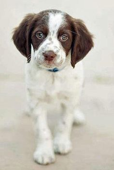 Indigo Crossing, springer spaniel