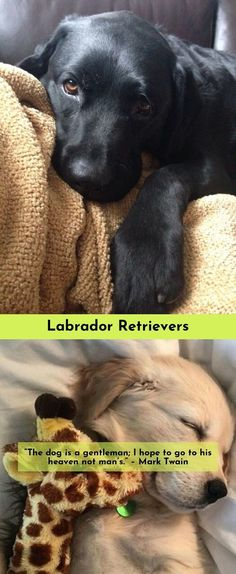 Discover more about Labradors Click the link to read more...