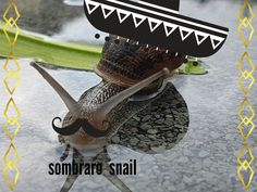 Sombrero snail