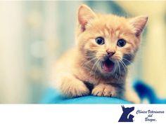 CLÍNICA VETERINARIA DEL BOSQUE. Es importante que si vas a adoptar a un gato feral, le permitas tener un proceso de adaptación, ya que primero debe reconocer el entorno donde se encuentra para poder relajarse. En Clínica Veterinaria del Bosque, nuestros médicos especialistas podrán orientarte sobre cómo tratar a tu mascota.  #veterinaria