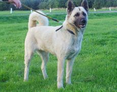 Akita Shepherd Akita X German Shepherd Mix Temperament Puppies