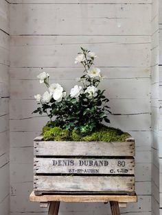 rose bush in a milk crate