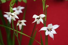 Acidanthera - Abyssinian gladiolus. Blooms anytime from late summer till fall. Scented at night.