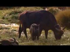 National Geographic 2014 Wildest Africa Mount Kenya African Heart of Ice Mount Kenya, National Geographic, African, Ice, Horses, Heart, Animals, Animais, Animales