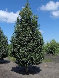Juniper operators width juniperus mature sabin