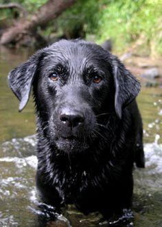 How to Care for a Labrador Retriever -- via wikiHow.com