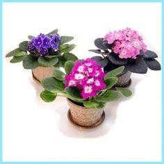 menekşe bakımı nasıl yapılır, menekşe bakımı, menekşe, menekşe yetiştiriciliği, menekşe çiçeği,