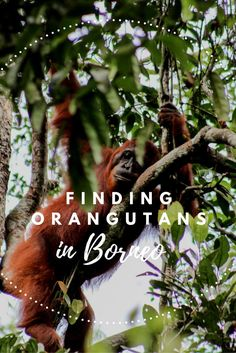 Want to see wild orangutans? Then follow me into the jungle of Borneo, Indonesia. Cruise down the river on a Klotok, spot crocodiles and hornbills and maybe even Tarzan. Click through to get the how, where and why to find the person of the forest!