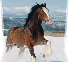 budweiser horse