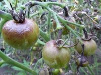 Phytophthora: how to get rid of the malignant disease tomatoes Save not to lose ! Discussion on LiveInternet - Russian Service Online Diaries Flowers, Outdoor, Tomatoes, Gardening, Paper, Haus, Outdoors, Lawn And Garden, Royal Icing Flowers