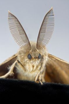 a close-up of a male gypsy moth showing its beautiful feathered antennae Stock Photo - 5302765