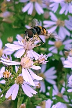 Bee on wild asters Lindbergh, National Geographic Photos, Your Shot, Amazing Photography, Bee, Bees