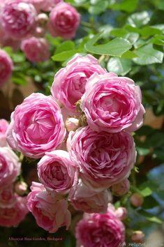 Garden Flowers - Annuals Or Perennials Rosa Jasmina Kordes, 2005 Love Rose, My Flower, Pretty Flowers, Flower Power, Pink Flowers, Rosas David Austin, Beautiful Roses, Beautiful Gardens, Kordes Rosen