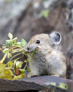 "American Pika gathering plants to make ""hay"" that can be saved to eat during the winter."