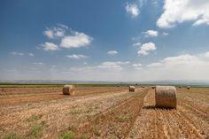 Israele, balle di fieno dopo il raccolto.