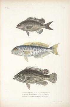 Atlantic Goldeneye Tilefish, Brown Chromis, chromis fusco-maculatus      ...