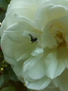 Little black spider on white rose