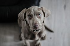 Originally bred as a gundog to handle big game like deer and bear, the Weimaraner was a highly sought-after dog breed in its native Germany. There are TOP 10 interesting facts about Weimaraner. Weimaraner Puppies, Dachshunds, Constipated Dog, American Staffordshire Terrier, Cute Puppies, Dogs And Puppies, Crying At Night, Dog Dna Test, Buy A Dog