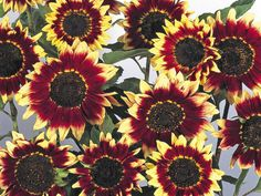 Sunflower Pastiche is a hardy bi color annual in a host of evening sun shades, such as yellows, reds and buff, some with a bright yellow or a deep red disc. These medium sized flower heads make fantastic cut flowers.