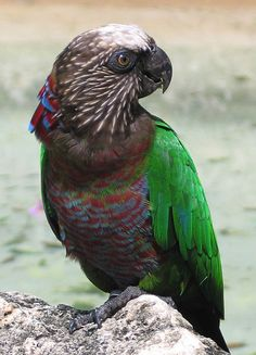 A funny parrot can be so cute. Check out these funny parrot videos. Contains some funny parrots dancing, some funny parrots talking or better said, imitating, Pretty Birds, Beautiful Birds, Animals Beautiful, Parrot Wings, List Of Birds, Toucan, Funny Parrots, How To Attract Birds, Bird Pictures