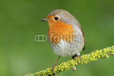Robin op een tak met korstmos
