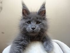Gray Maine Coon | fuzz for DAAAYS