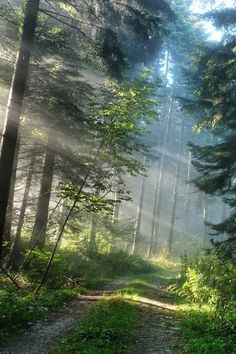 Sunbeams Through Pine Forest Path Forest Path, Pine Forest, Forest Road, Forest At Night, Forest Light, Misty Forest, Magic Forest, Deep Forest, Beautiful World