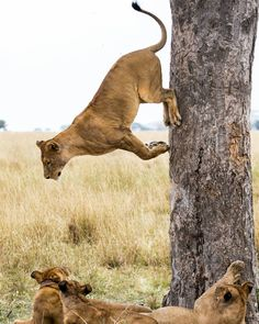 . Photography by @ (Peter Arebalo). No trick photography here. Lion climb trees…