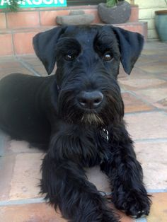 Cole (Coal Black - Cole as in Cole Porter) Cole, 7 months old Standard Schnauzer from Christina Kidd Schnauzer Cut, Black Schnauzer, Schnauzer Grooming, Standard Schnauzer, Miniature Schnauzer Puppies, Giant Schnauzer, I Love Dogs, Cute Dogs, Cute Puppies