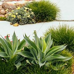 Agave, grasses, and yarrow