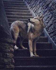 By @ironwoodwolves @rachellaurenphoto #ambassadorwolf #shoutout #photography