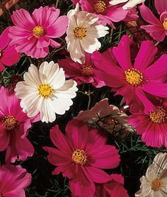 Cosmos, Sensation Mix 9/14 outdoors in side pot and trellis pot. 10/9 window box. 11/1 window box and window sill. These are very gangly. would look better as a tall accent in a very full bed.