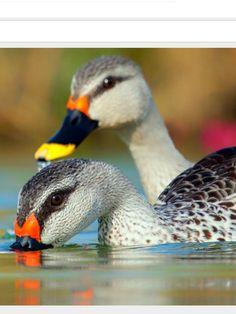 Spot-billed Duck. Photo: Gujarat, IN, (c) Satyam Dave