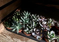 We have succulents and cacti from only £1.99. A perfect gift for a friend this Christmas.  These are looking absolutely gorgeous with the evening sun shining on them! Don't forget, today is our Christmas extravaganza, from 6pm get 20% off everything in store with mince pies, carols and bubbly! Go on! Treat yourself and get in the festive spirit! #N1GardenCentre #Islington #Lifenhancing #Christmas #festive #interiordesign #succulent #cacti