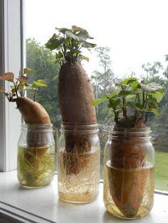 Home Joys: Growing Sweet Potatoes