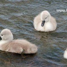 three fluffy signets illustrating children's nature story page about wild swans Nature Story, Stories For Kids, Swans, Ireland, Children, Young Children, Stories For Children, Boys, Kids