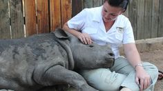 Motherless Baby Rhino's Remarkable Bond With Human Keepers