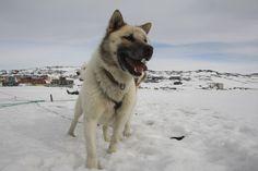 Les chiens du #Groenland pour le tournage du clip de Suli Avunga chanson du #CyberTour