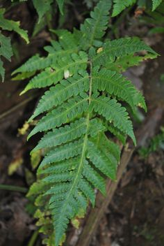 Lonchitis is a neotropical genus of ferns. It is the sole genus in the family Lonchitidaceae. In Smith et al. Lonchitis was placed in Lindsaeaceae, before being placed in its own family.